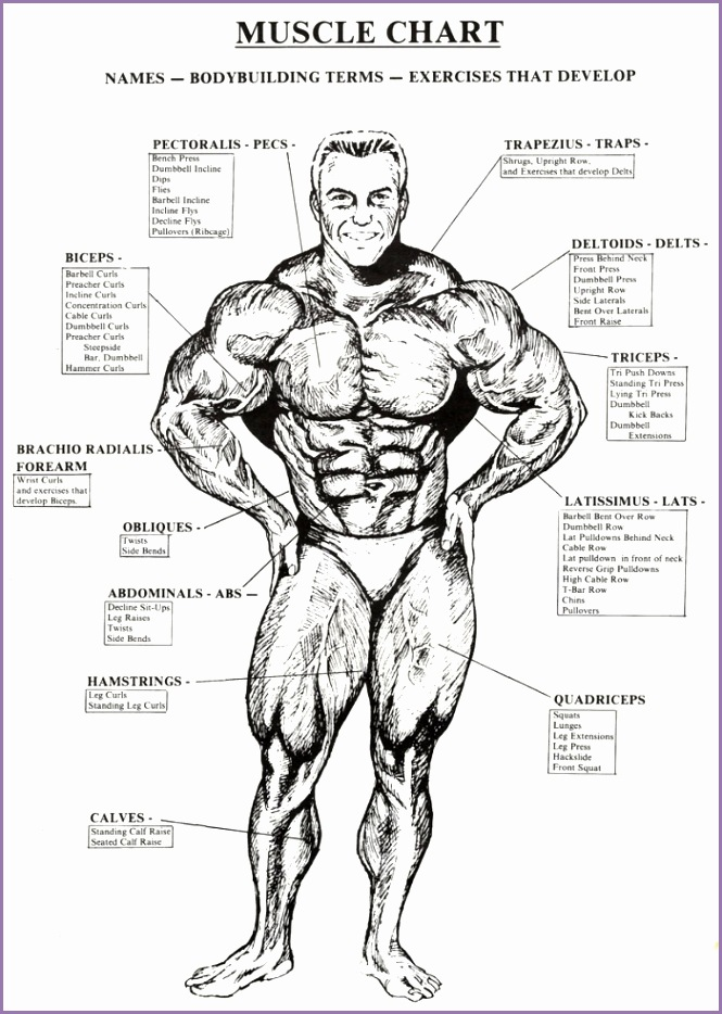 Muscle Chart Healthy Fitness Names Workouts Tricep Bicep Abs